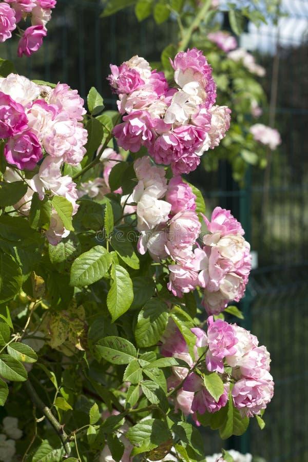 美丽罗斯的花 库存图片