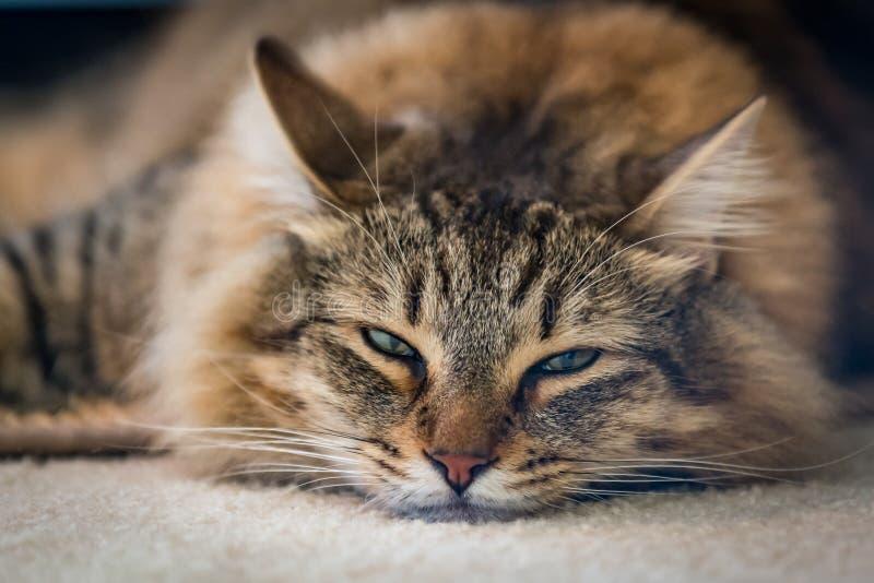 美丽长发的缅因州猫躺在地毯上 免版税库存照片
