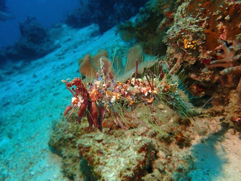 美丽,健康和美丽的珊瑚礁在西巴丹岛海岛,仙本那,斗湖 沙巴,马来西亚,婆罗洲 免版税图库摄影