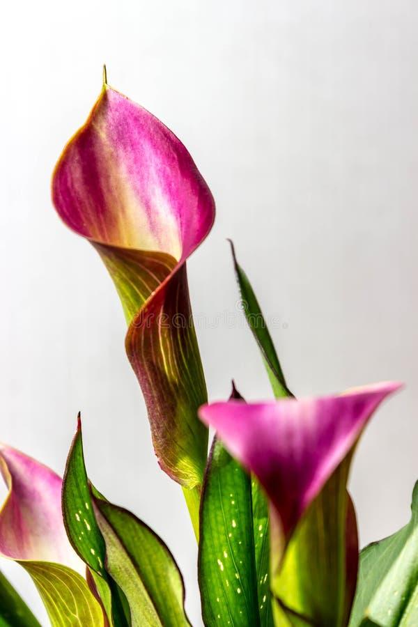 美丽,紫色和金开花在春天的水芋百合 免版税库存图片