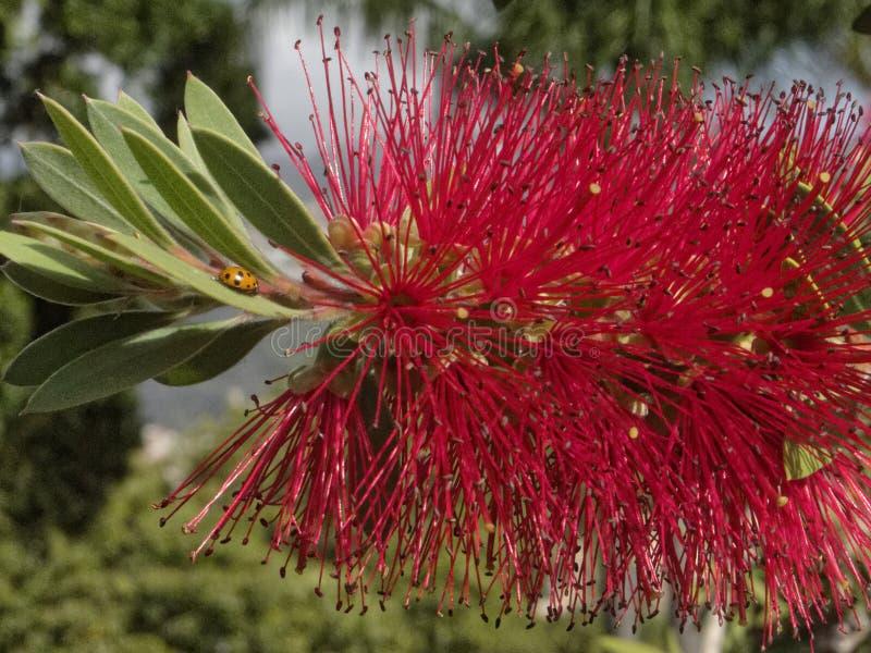 美丽,红色花和瓢虫 免版税库存照片