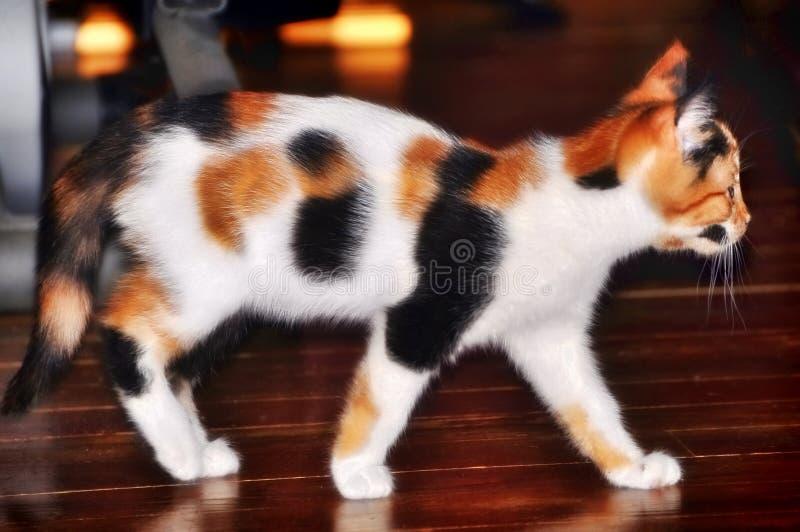 美丽/相当杂色猫/小猫 库存照片