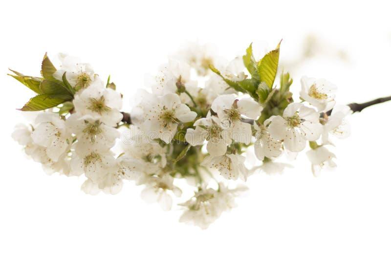 _美丽cherry樱花花在开花与分支隔绝在白色背景 免版税库存图片