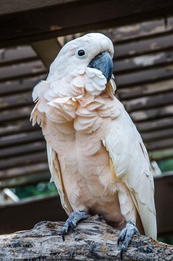 美冠鹦鹉有顶饰三文鱼 免版税库存图片