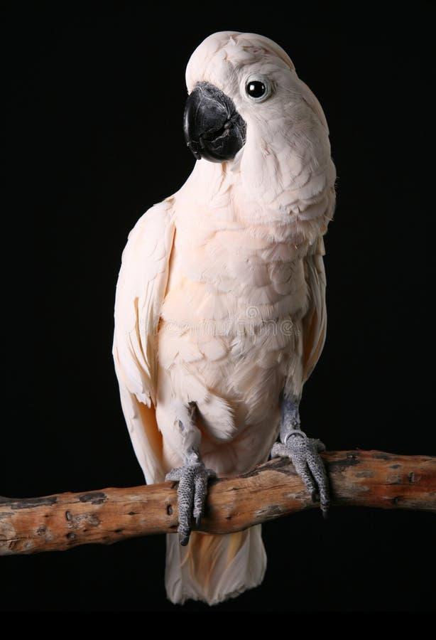 美冠鹦鹉有顶饰公摩罗加群岛的三文&# 图库摄影