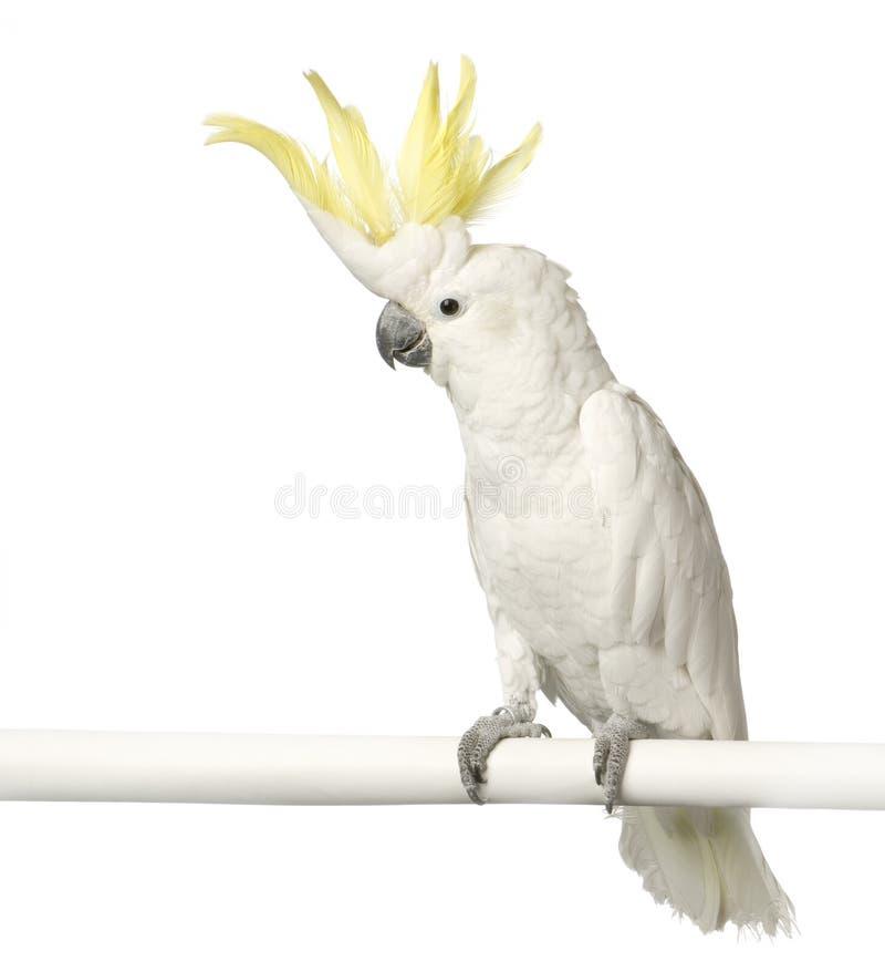 美冠鹦鹉有顶饰黄色 库存照片