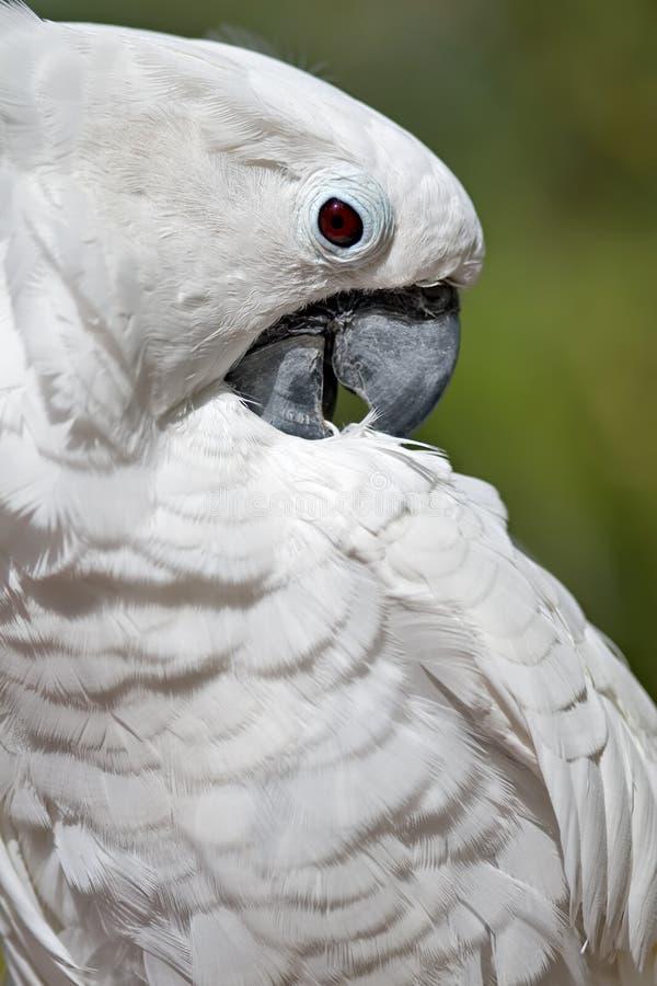 美冠鹦鹉白色 免版税库存照片