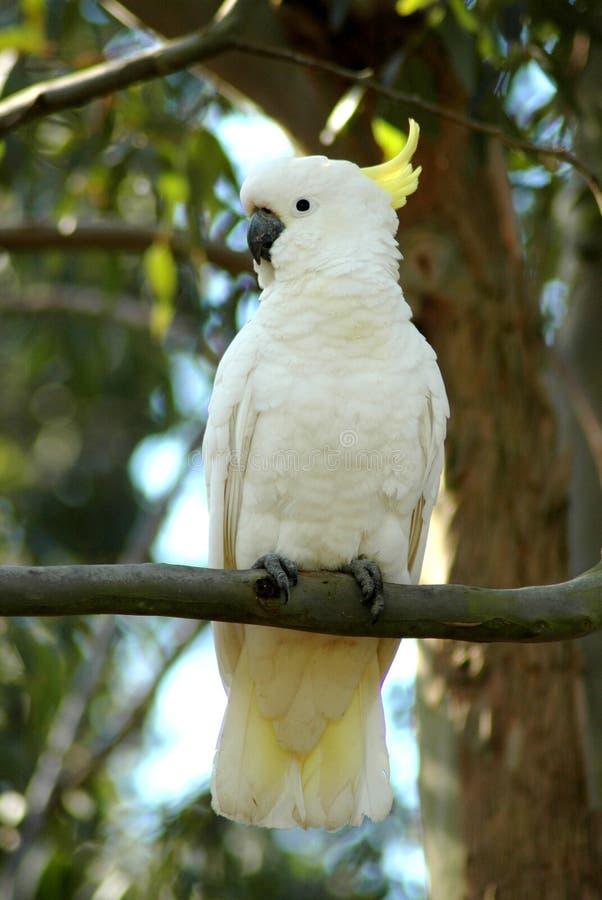 美冠鹦鹉白色 图库摄影