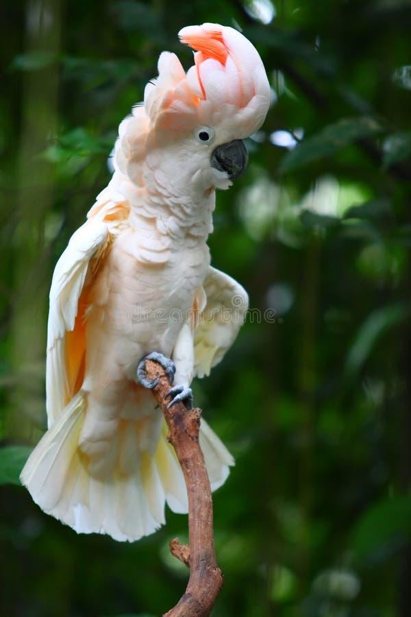 美冠鹦鹉结构树 免版税库存图片