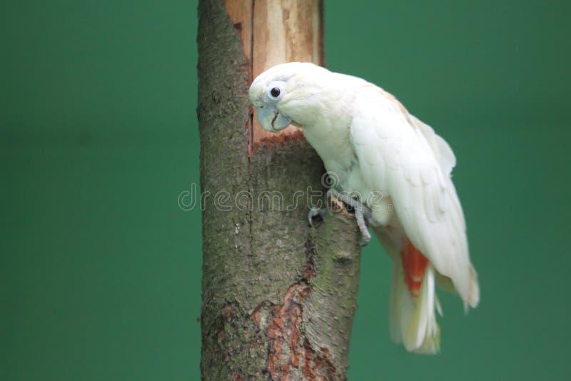 美冠鹦鹉菲律宾 图库摄影