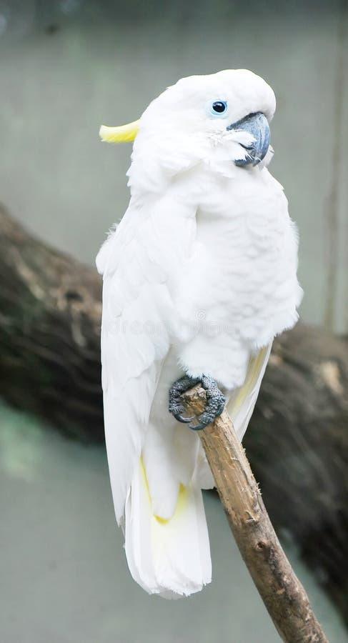 美冠鹦鹉顶饰少许硫磺 免版税库存照片