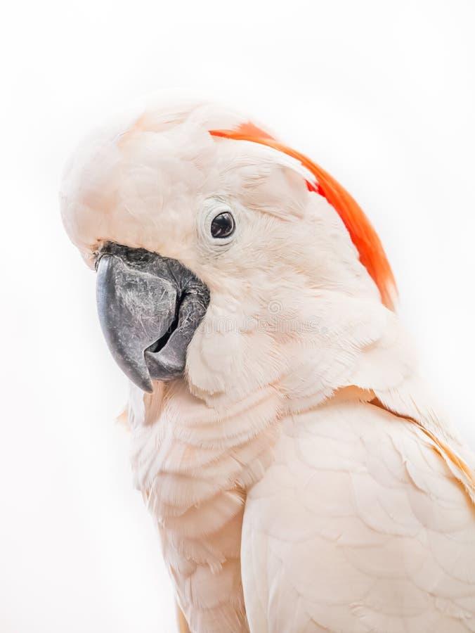 美冠鹦鹉画象  免版税库存照片
