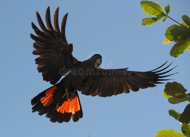 美冠鹦鹉 库存图片