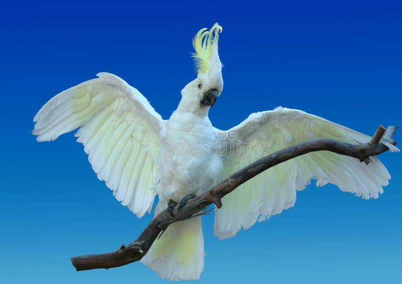 Download 美冠鹦鹉 库存图片. 图片 包括有 联系, 本质, 美冠鹦鹉, 翼展, 有顶饰, 澳大利亚, 空白, 动物标本剥制术 - 59173