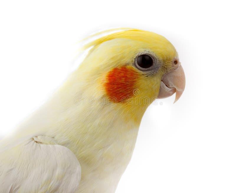 美冠鹦鹉nymphicus鹦鹉quarrion weero 库存照片