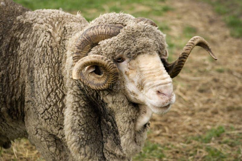 美利奴绵羊的公羊 库存照片