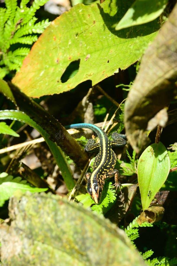 美国中央蜥蜴whiptail 免版税库存图片