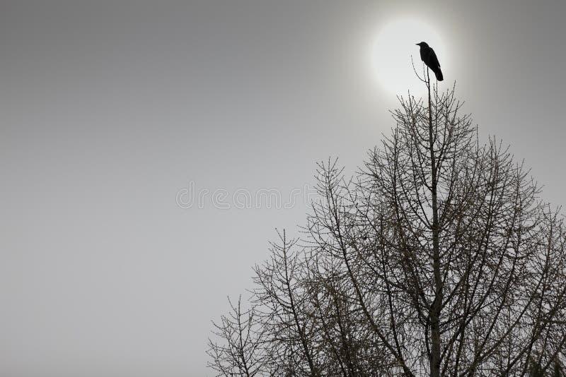 美国乌鸦被栖息的顶部结构树 图库摄影