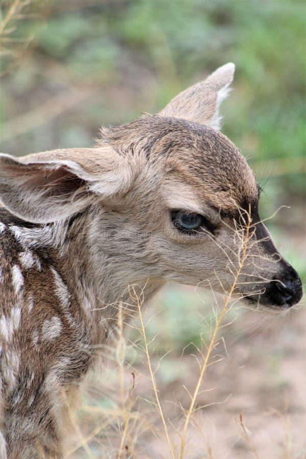 美国亚利桑那州汤姆斯通的骡鹿 免版税库存照片