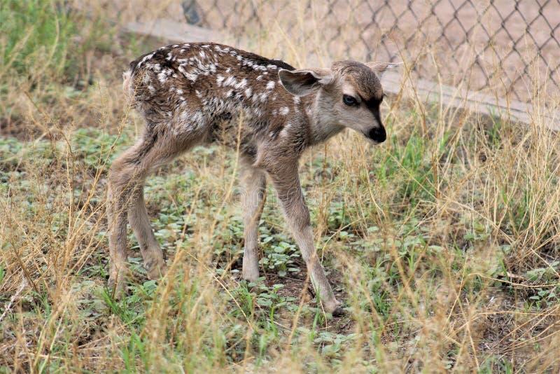 美国亚利桑那州汤姆斯通的骡鹿 免版税库存图片