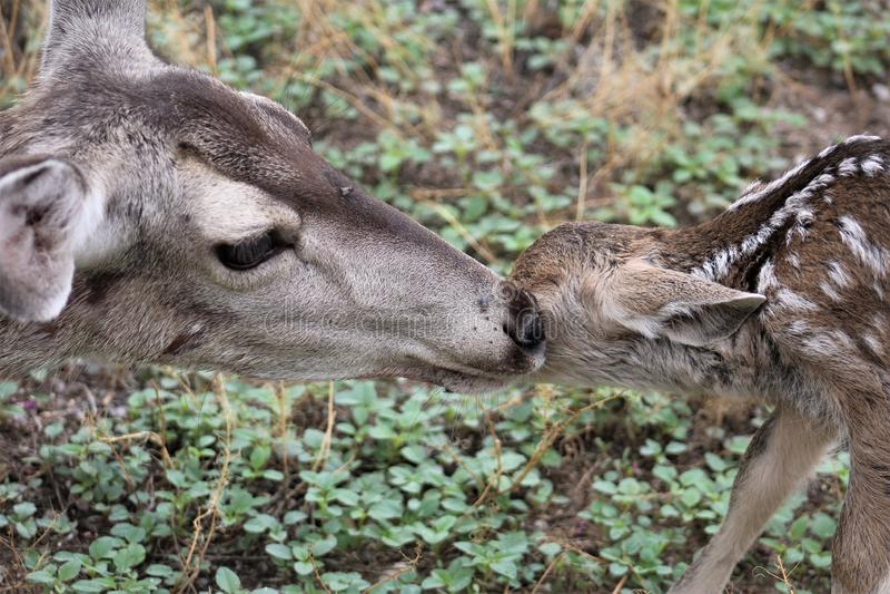 美国亚利桑那州汤姆斯通的骡鹿 库存图片