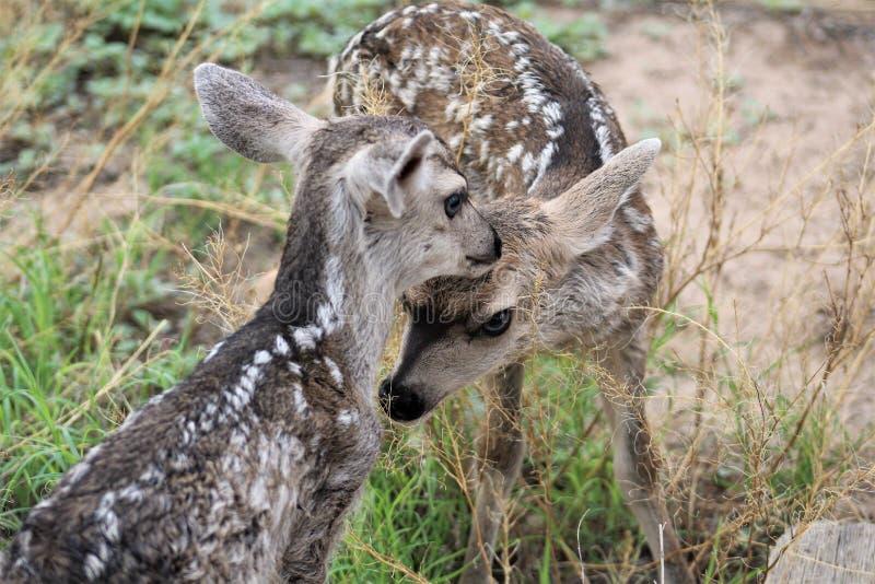 美国亚利桑那州汤姆斯通的骡鹿 库存照片