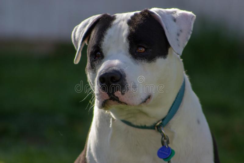 美国人斯塔福德郡美洲叭喇狗混合 免版税库存照片