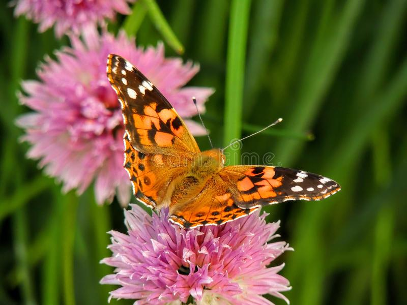 美国人绘了会集在香葱花的夫人或美国Vanessa夫人virginiensis花蜜 免版税图库摄影