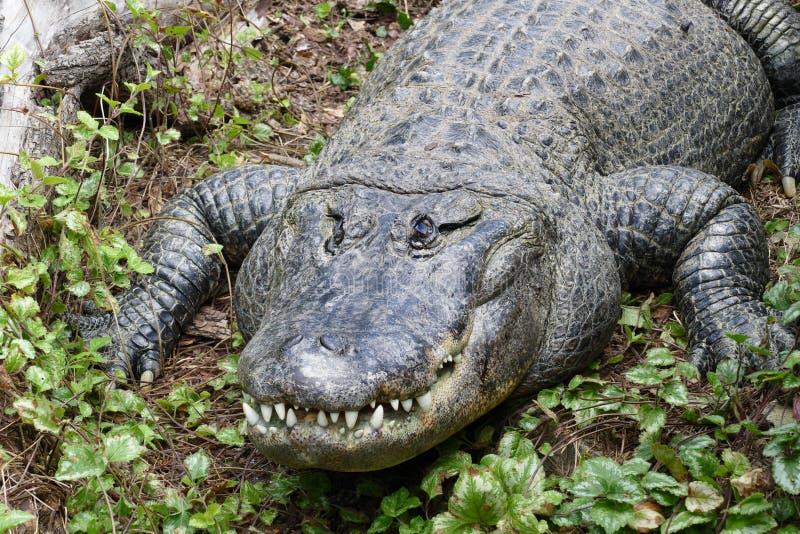 美国人Aligator 免版税图库摄影