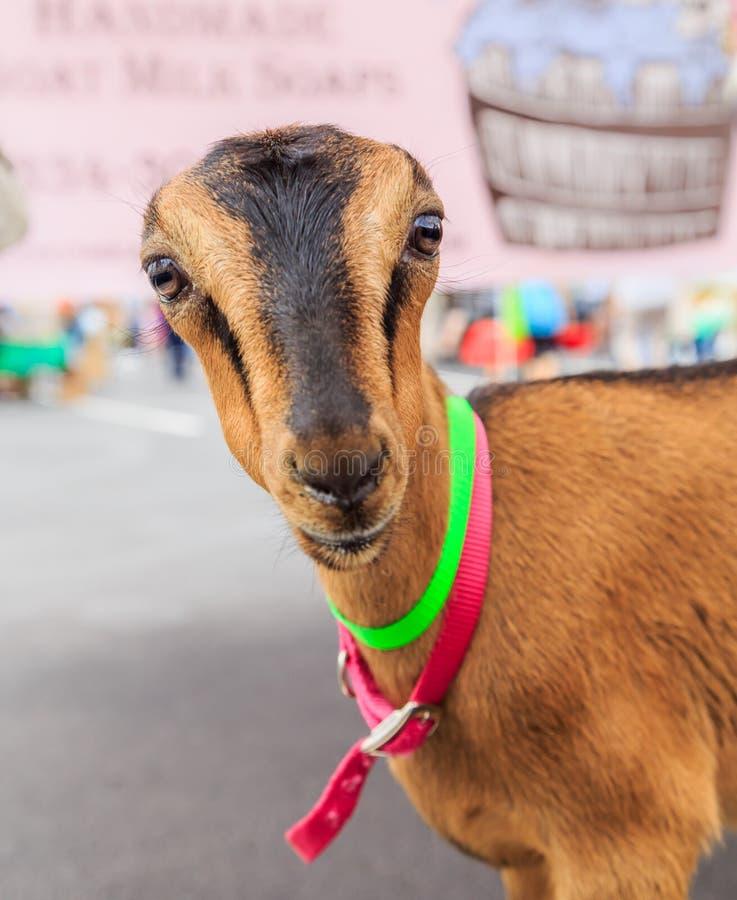 农夫色人和狗_可爱的幼小母美国人lamancha山羊在与霓虹绿色和桃红色衣领的一个农夫