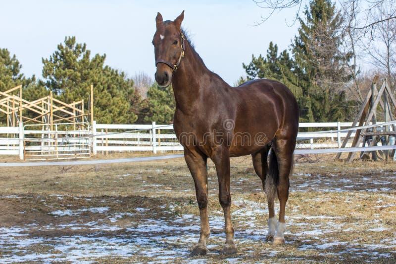 美国人Saddlebred马 免版税库存照片