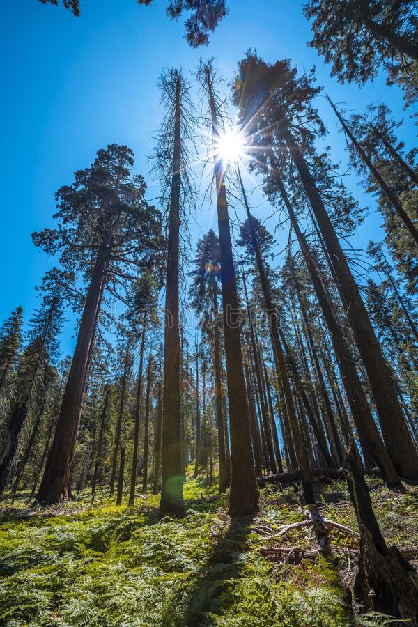 美国加利福尼亚州红杉国家公园红杉树林 库存图片