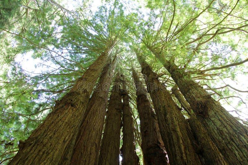 美国加州红杉圈子 图库摄影