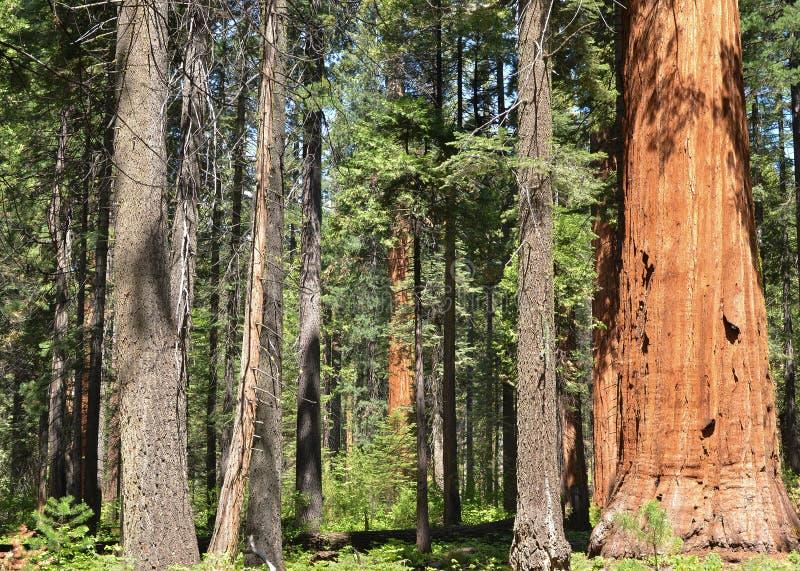 美国加州红杉树丛 免版税库存照片