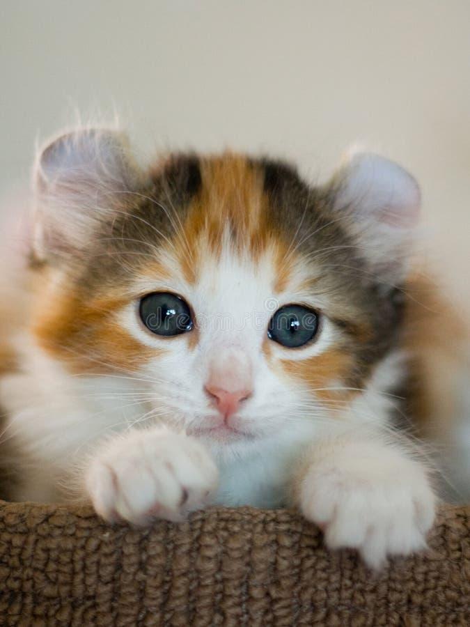 美国卷毛小猫 图库摄影