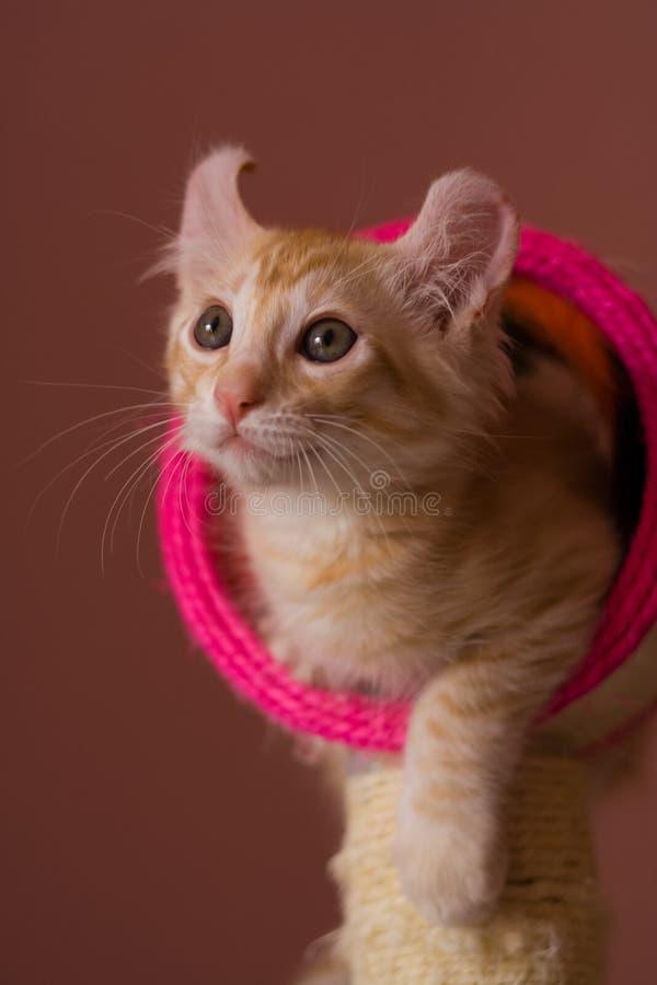美国卷毛小猫 免版税图库摄影