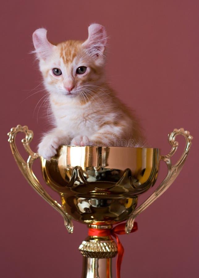 美国卷毛小猫 免版税库存图片