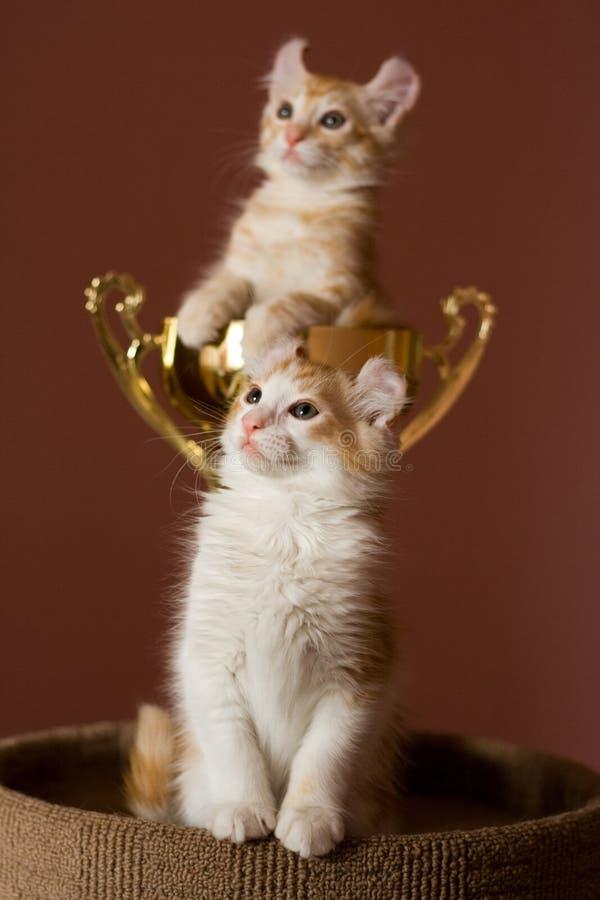 美国卷毛小猫 库存图片
