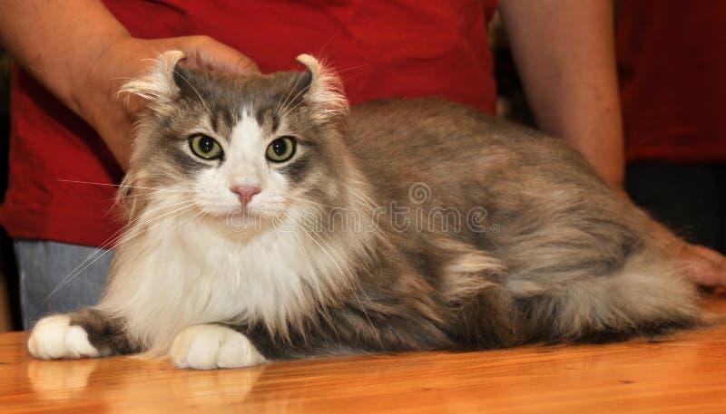 美国卷毛猫 免版税库存照片
