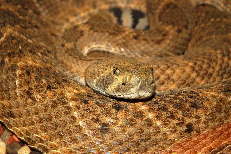 美国响尾蛇 免版税库存照片