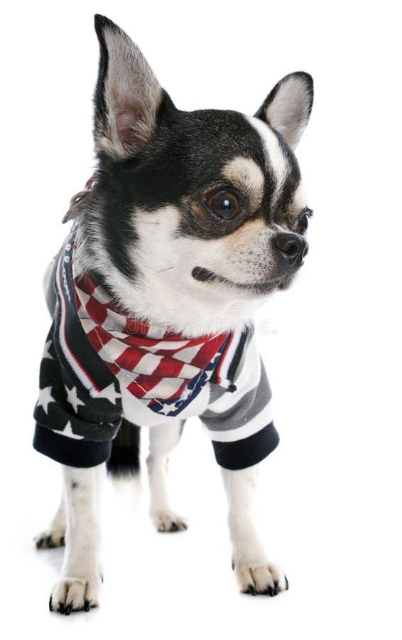 美国奇瓦瓦狗 免版税库存照片