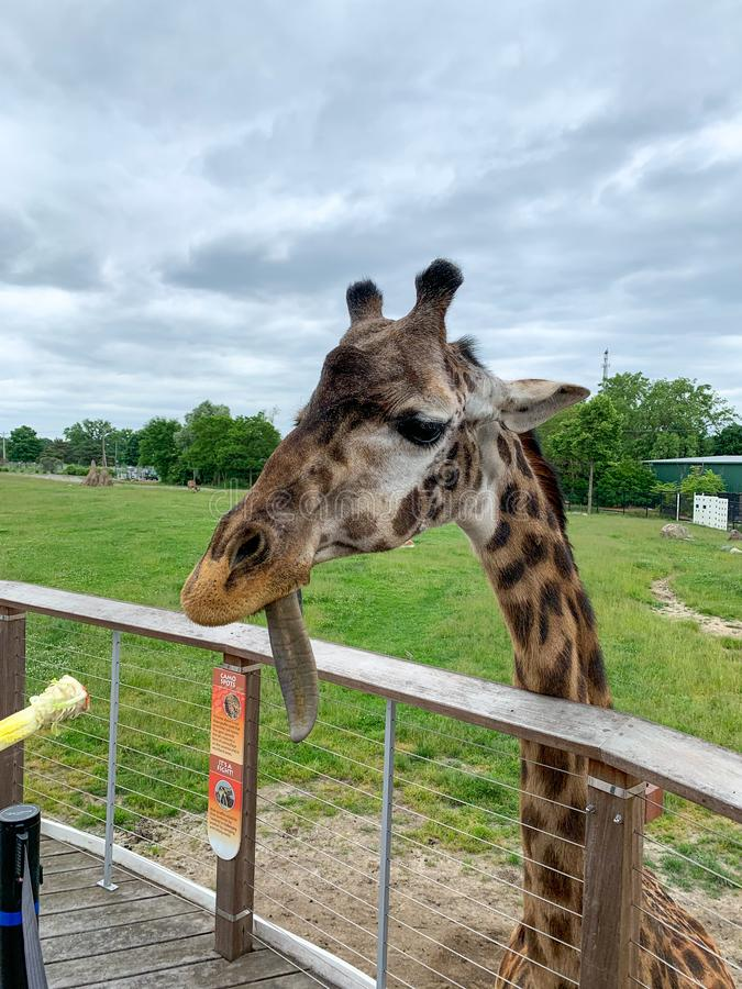 美国密歇根州安阿伯,06 05 2019:从动物园篱笆后面喂长颈鹿 免版税图库摄影