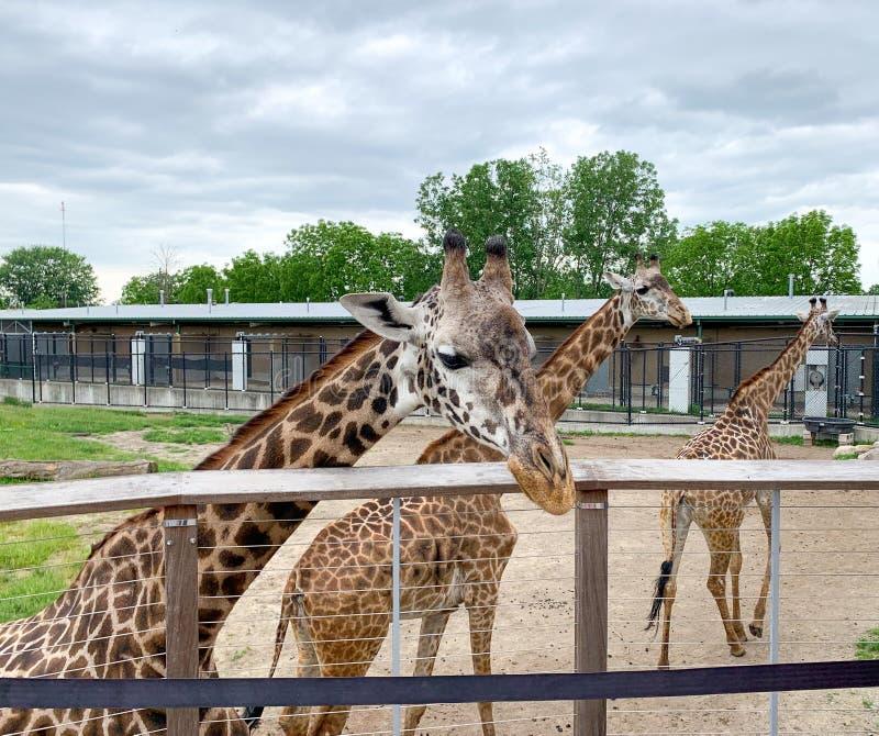美国密歇根州安阿伯,2019年6月21日:动物园三只长颈鹿 圈养动物 魔兽 免版税库存图片