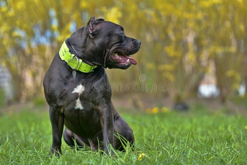 品种美国恶霸, 9个月小狗图片