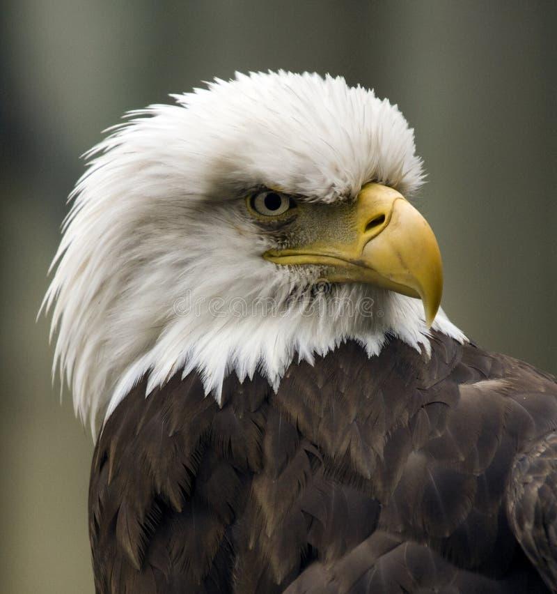 美国恼怒的老鹰 免版税库存照片