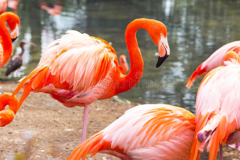 美国或加勒比火鸟画象 免版税库存照片