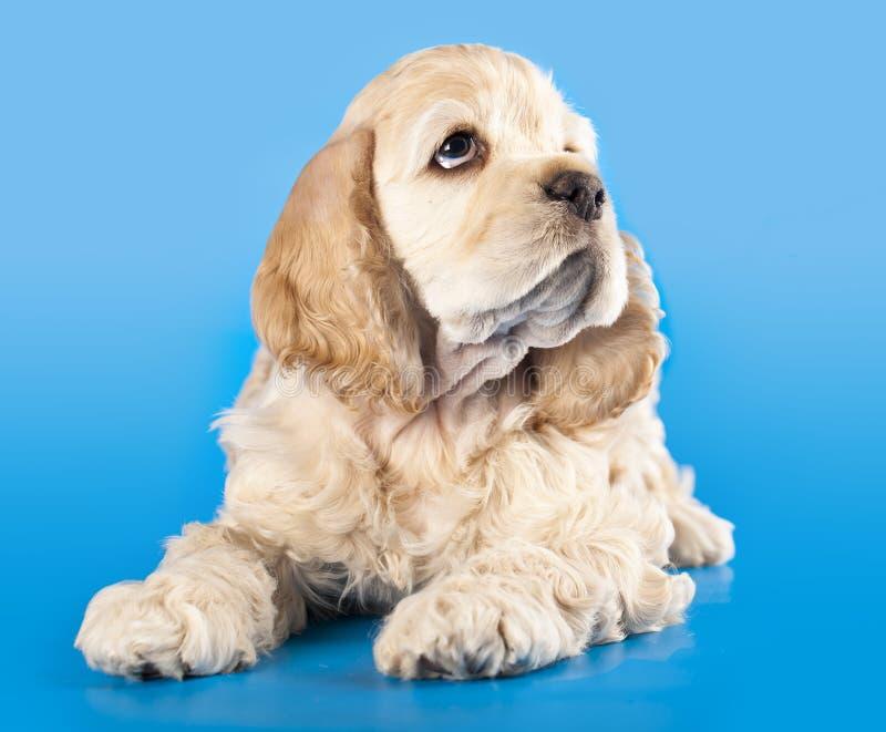 美国斗鸡家小狗西班牙猎狗 免版税库存图片