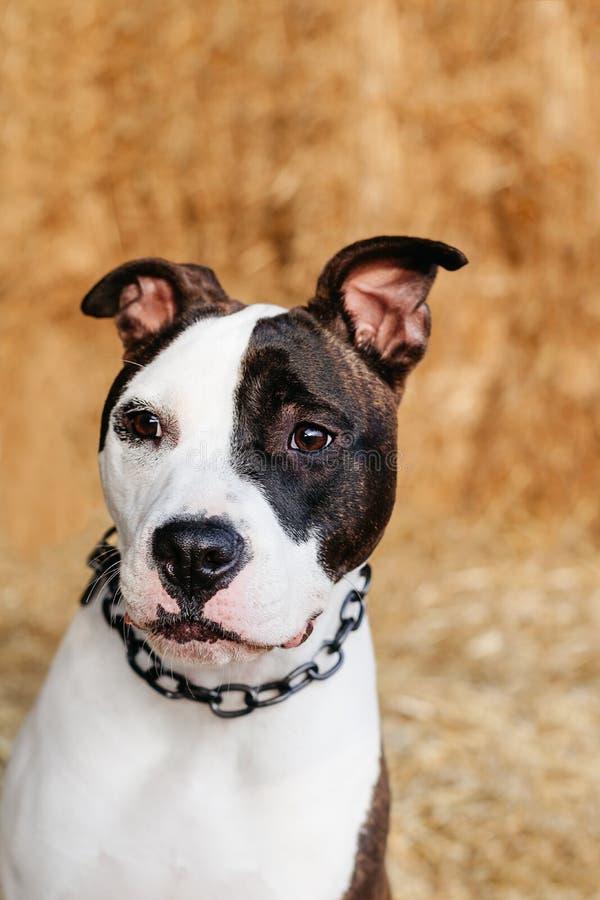 美国斯塔福德郡狗, amstaff, stafford 免版税库存照片