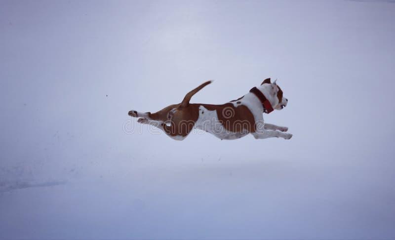 美国斯塔福郡狗 图库摄影