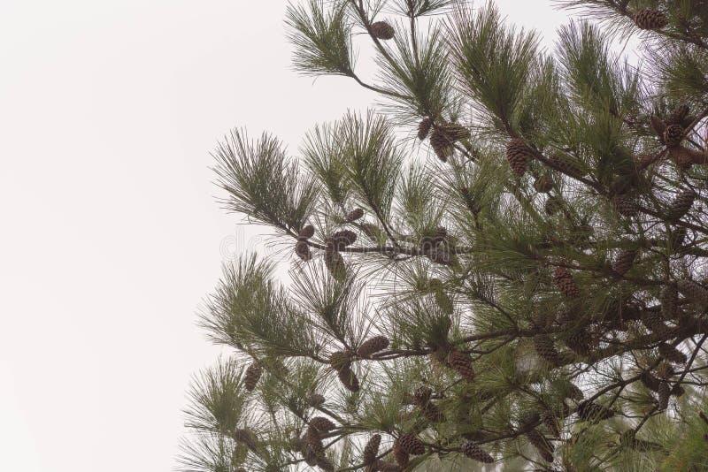 美国杉木的杉木 图库摄影
